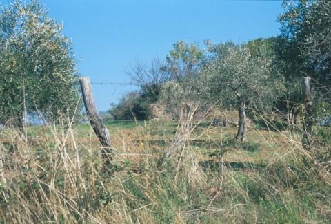 Area 5277: l'uliveto entro il quale insistono i resti della cisterna